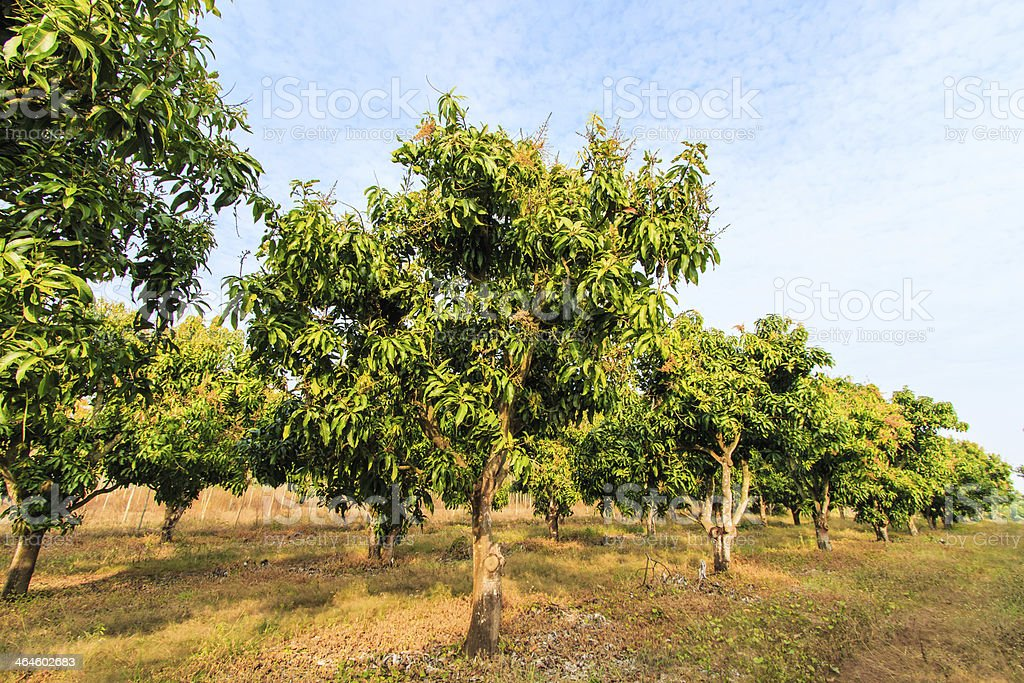 Mango orchards asia Thailand stock photo