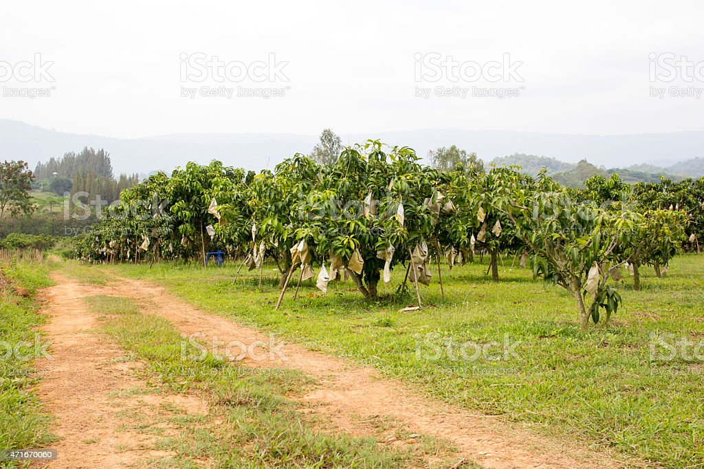 Mango orchards stock photo