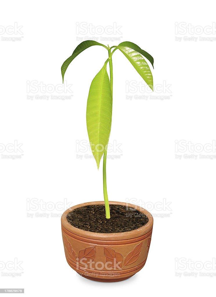 Mango Plant stock photo