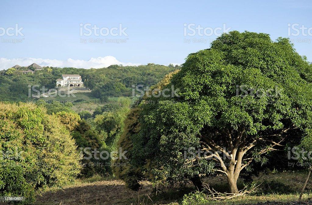 Mango plantation stock photo