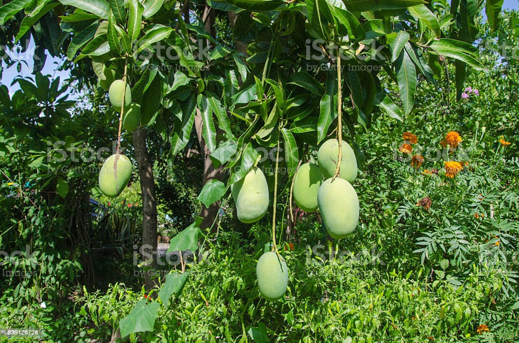 Mango tree in the garden stock photo