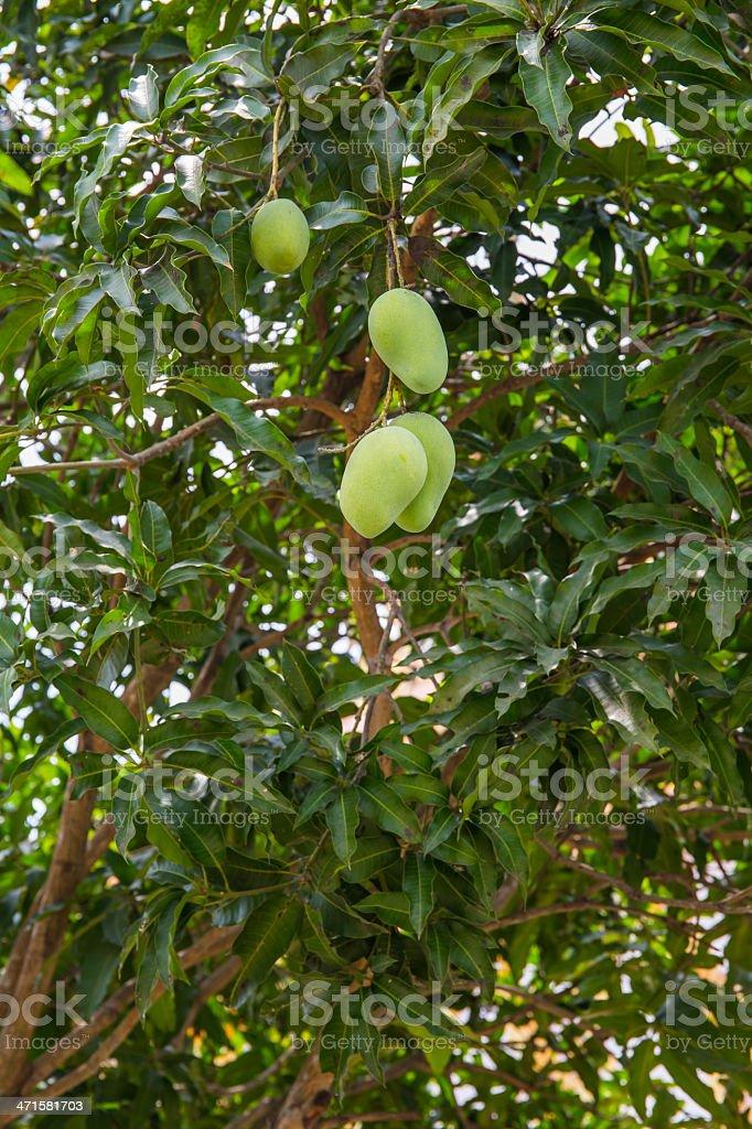 mango tree royalty-free stock photo