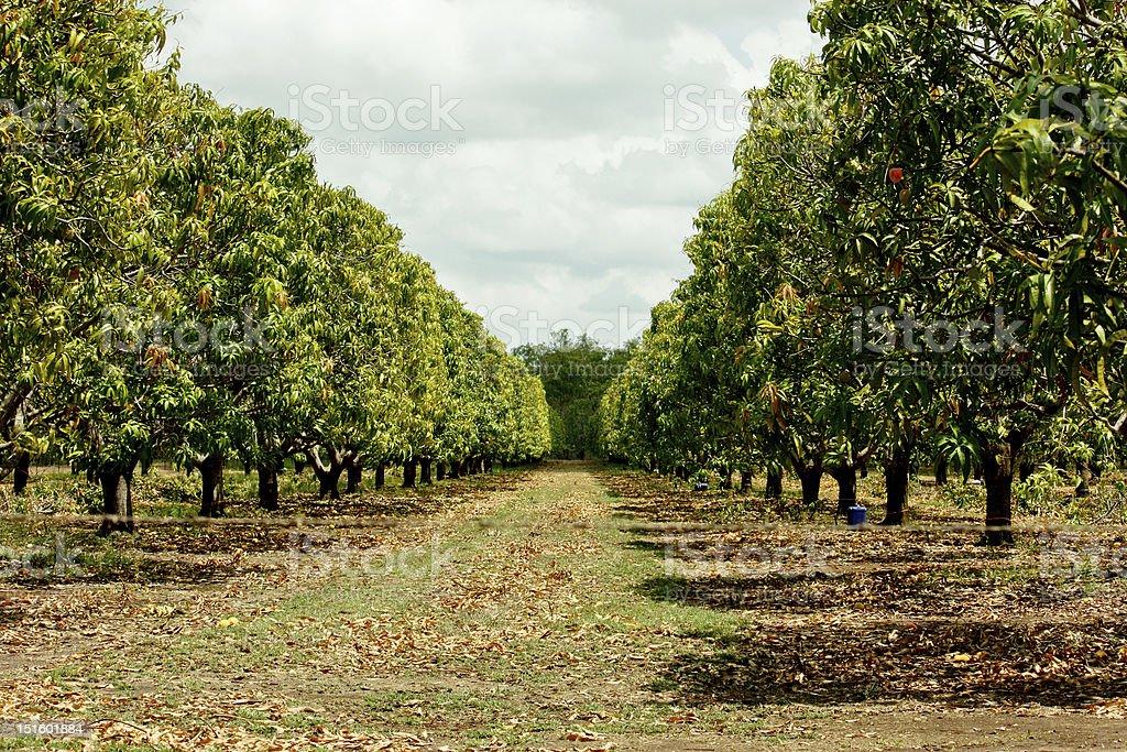 Mango tree plantation stock photo