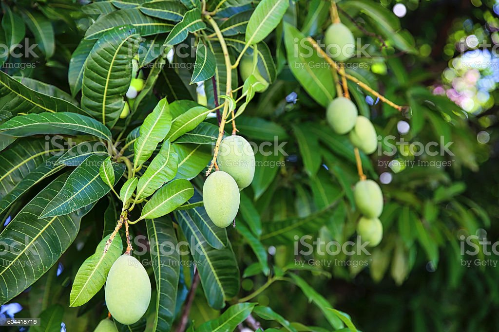 Mango Tree with Bunches of Green Fruit stock photo
