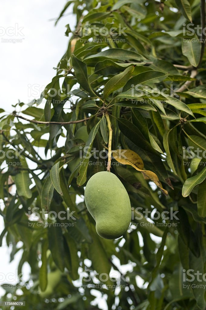 mango tree with fruit stock photo