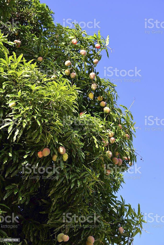 Mango tree with ripe fruit stock photo