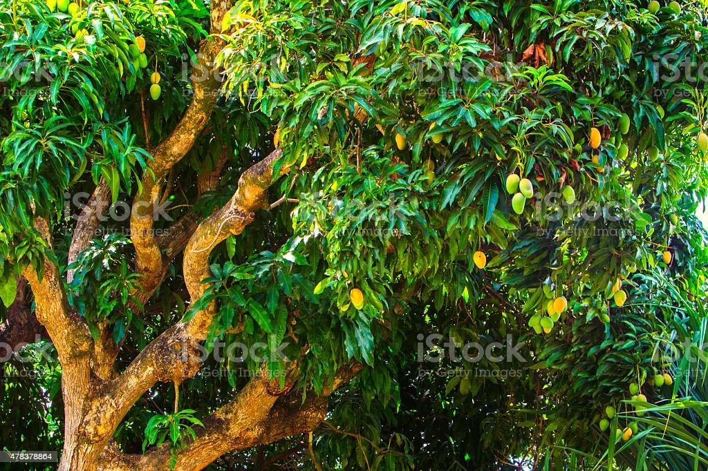 Mangoes in Tree stock photo