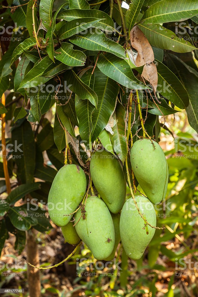 mangoes on a mango tree in plantation stock photo