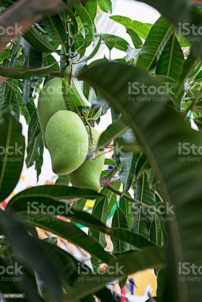 Mangoes on its tree. stock photo