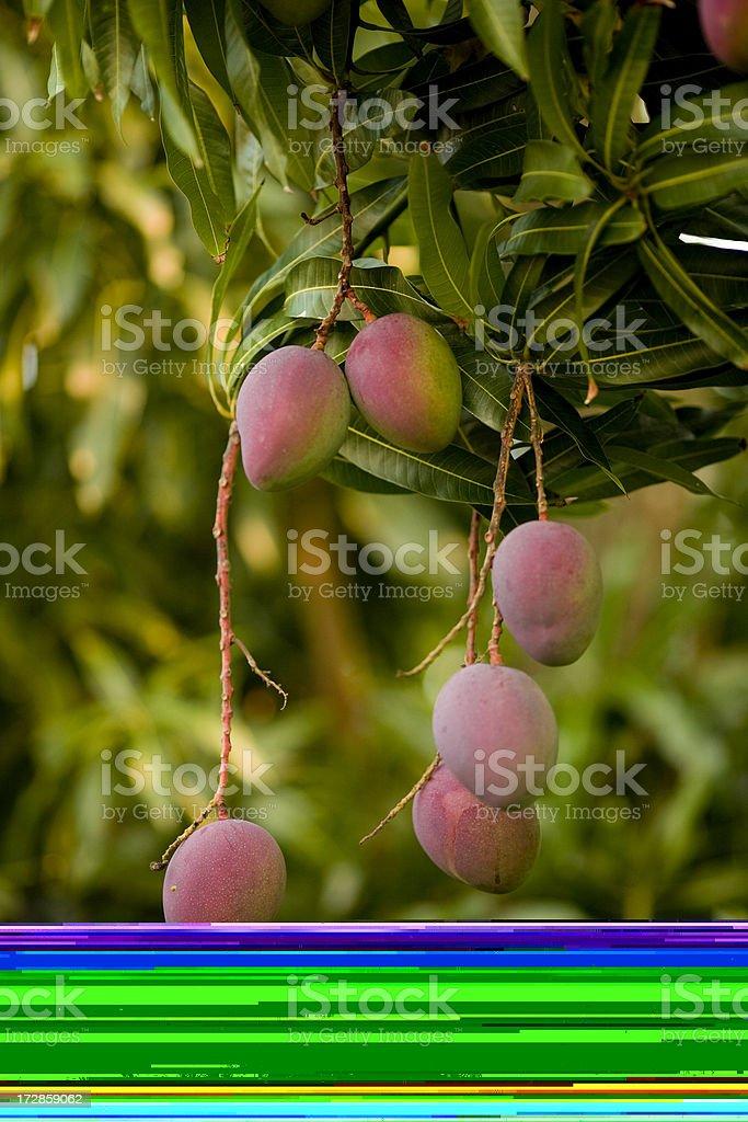 mangoes royalty-free stock photo