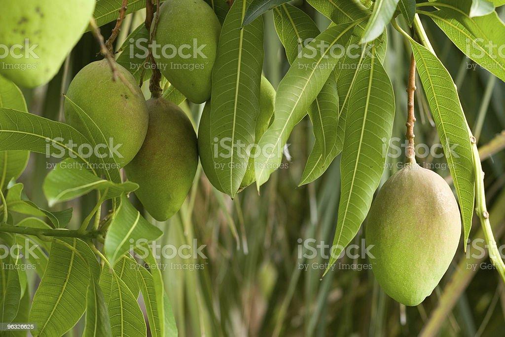 Mangoes Ripening on Tree stock photo