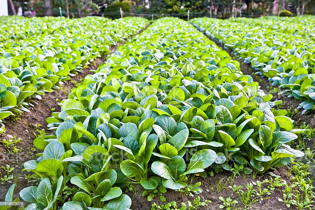 Mangold and spinach in ecologic garden, Kyoto , Japan. stock photo