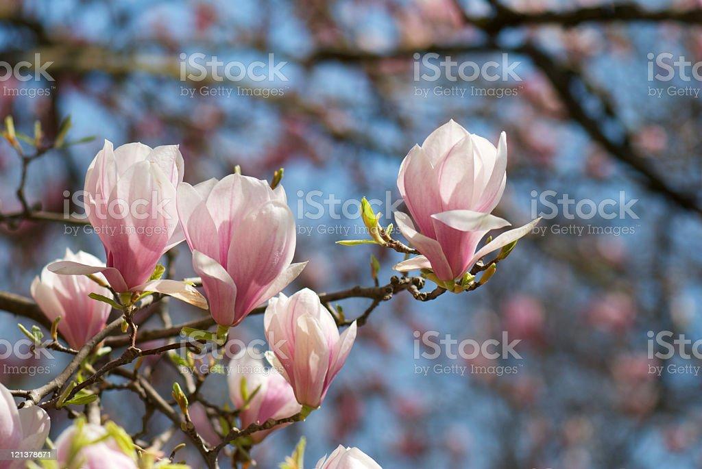 Mangolia royalty-free stock photo
