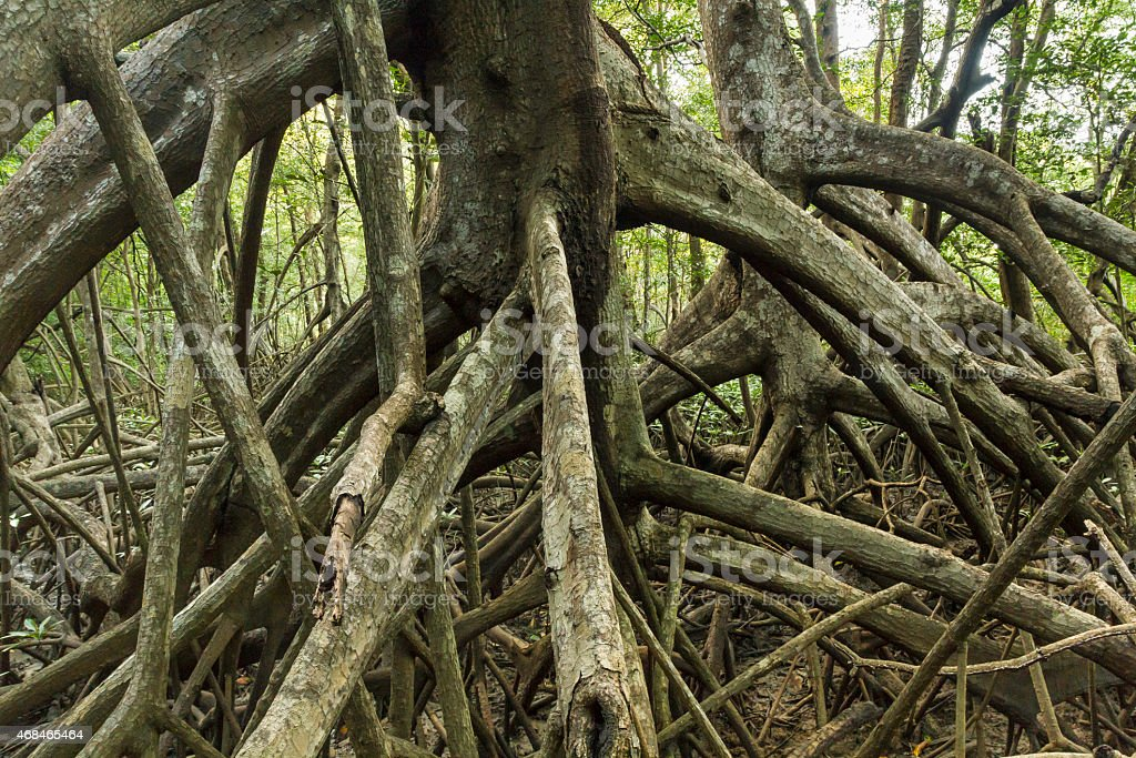 Mangove Trees stock photo