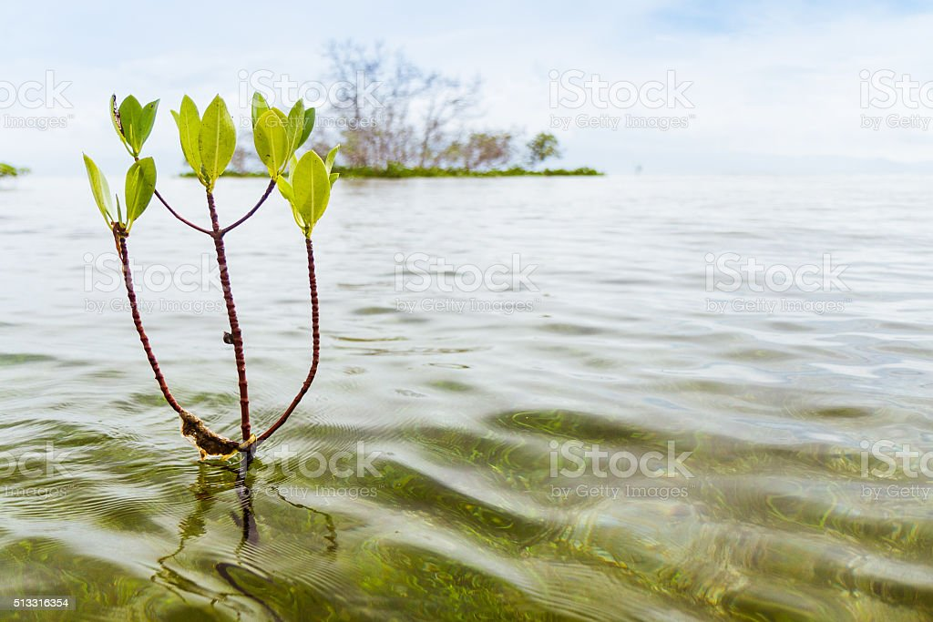 Mangroove Seedling stock photo