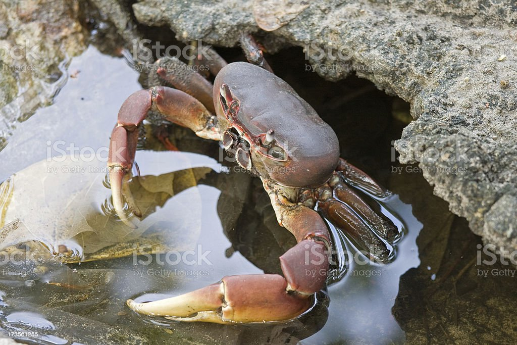 mangrove crab stock photo
