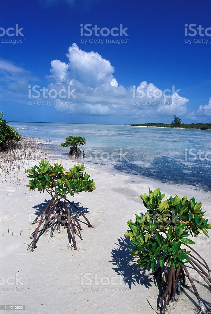 Mangrove emerge from low tide lagoon royalty-free stock photo