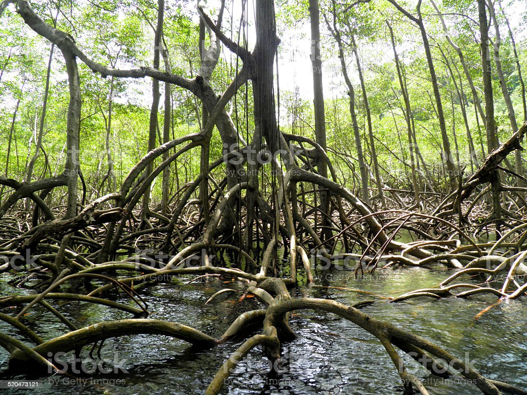 Bosque de manglar y al río, República Dominicana foto de stock libre de derechos