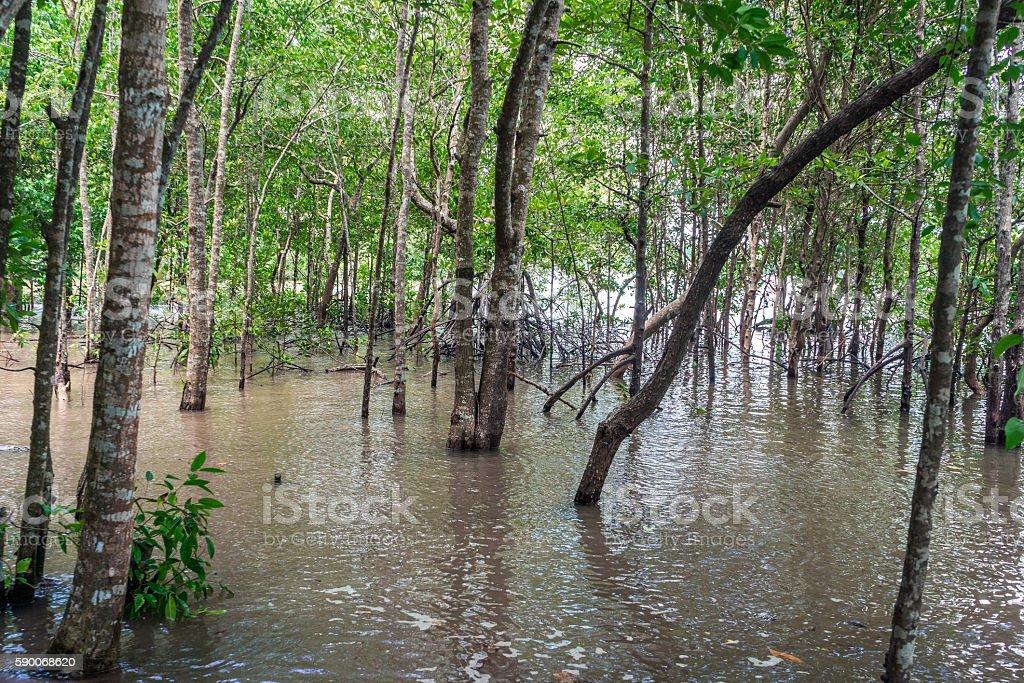Mangrove forest and river photo libre de droits