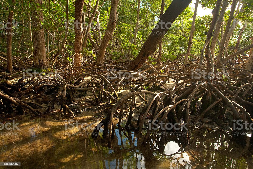 Mangrove Forest and Roots royalty-free stock photo