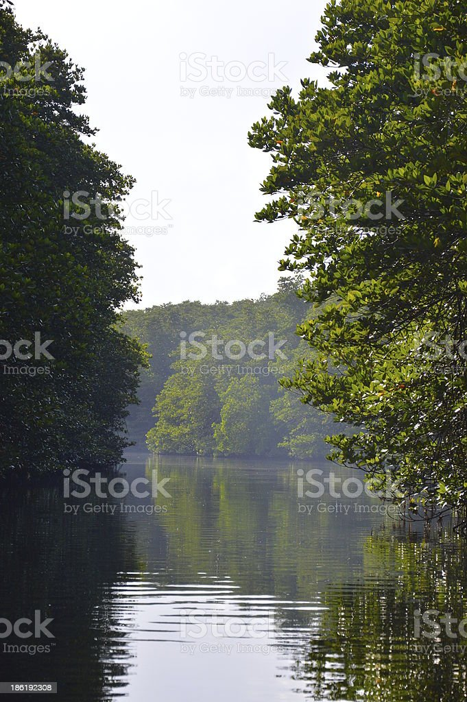 Mangrove forest and shallow water royalty-free stock photo