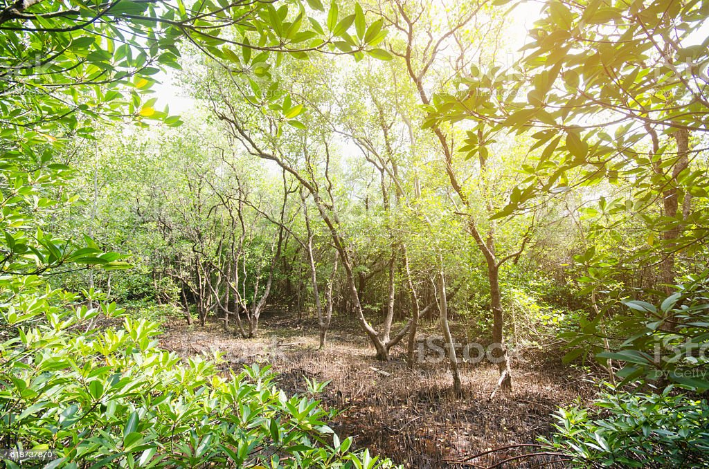 Mangrove forest and sun lay stock photo
