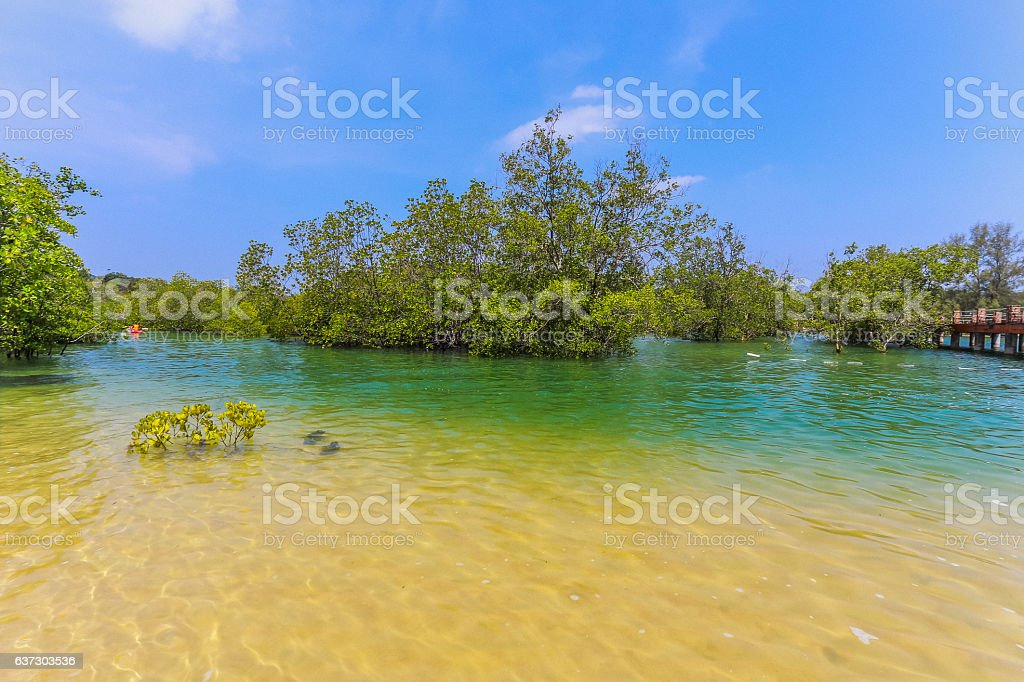 Mangrove forest between Freshwater, saltwater. stock photo