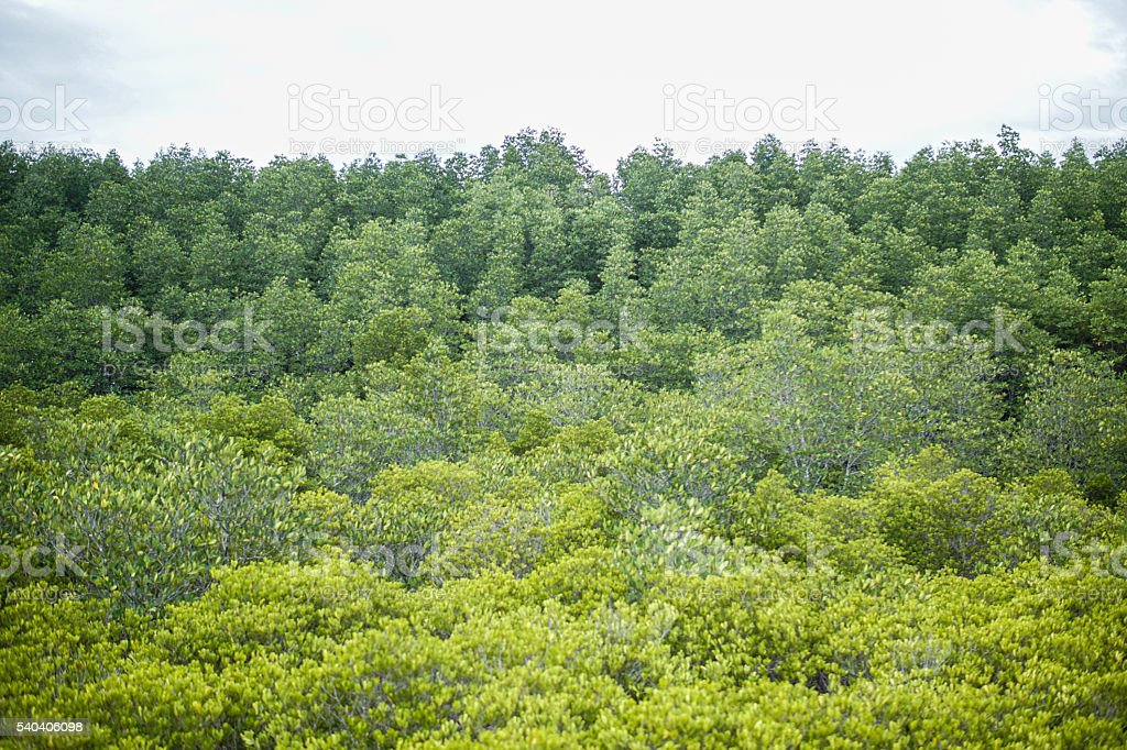 Mangrove forest in thailand. stock photo