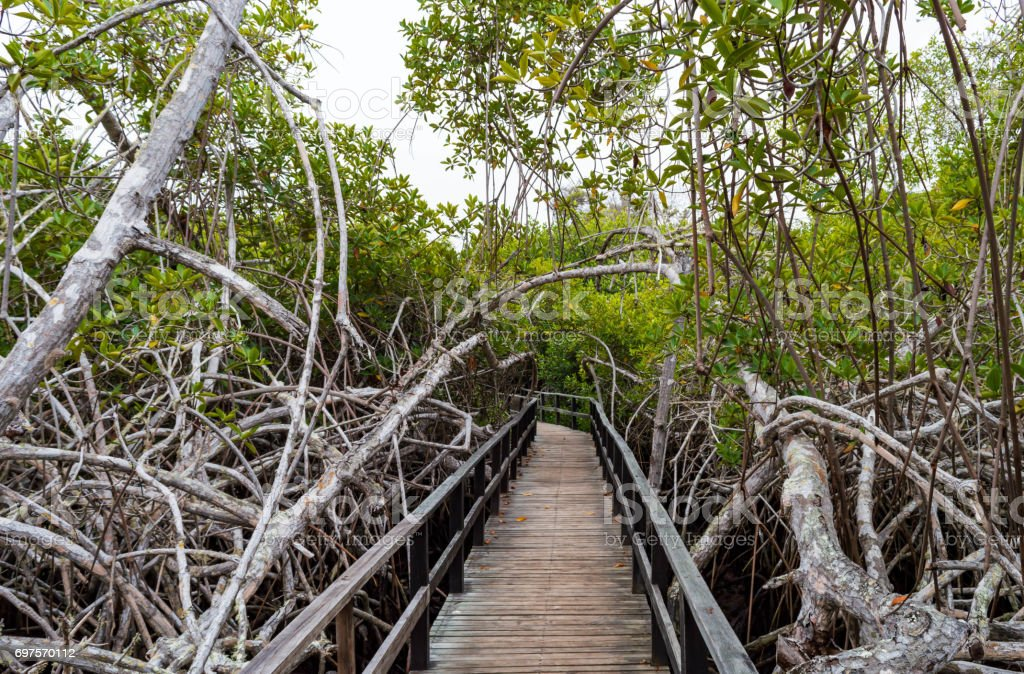 Mangrove Forest in the Galapagos stock photo