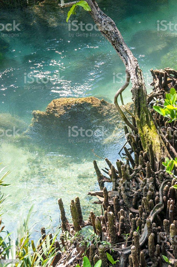 Mangrove Forest Near Krabi In Thailand stock photo