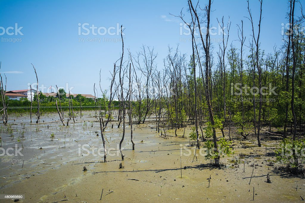 mangrove forest stock photo