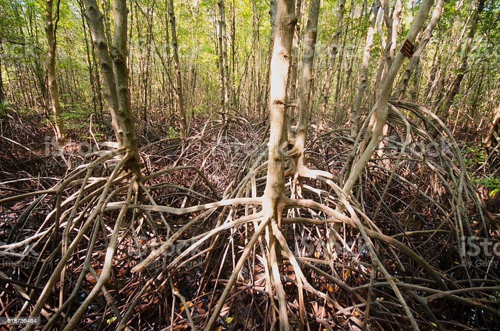 Mangrove forest ,Thailand stock photo