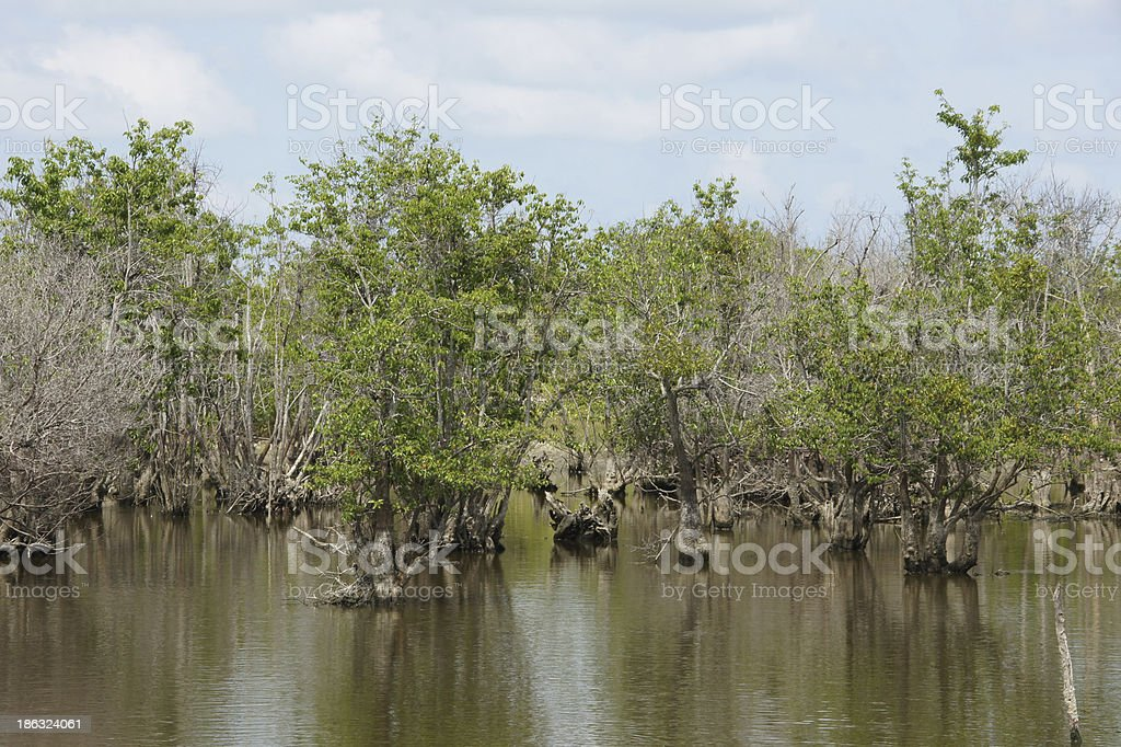 Mangrove forest topical rainforest royalty-free stock photo