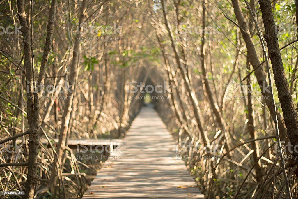 mangrove forest tree tunnel in Thailand stock photo