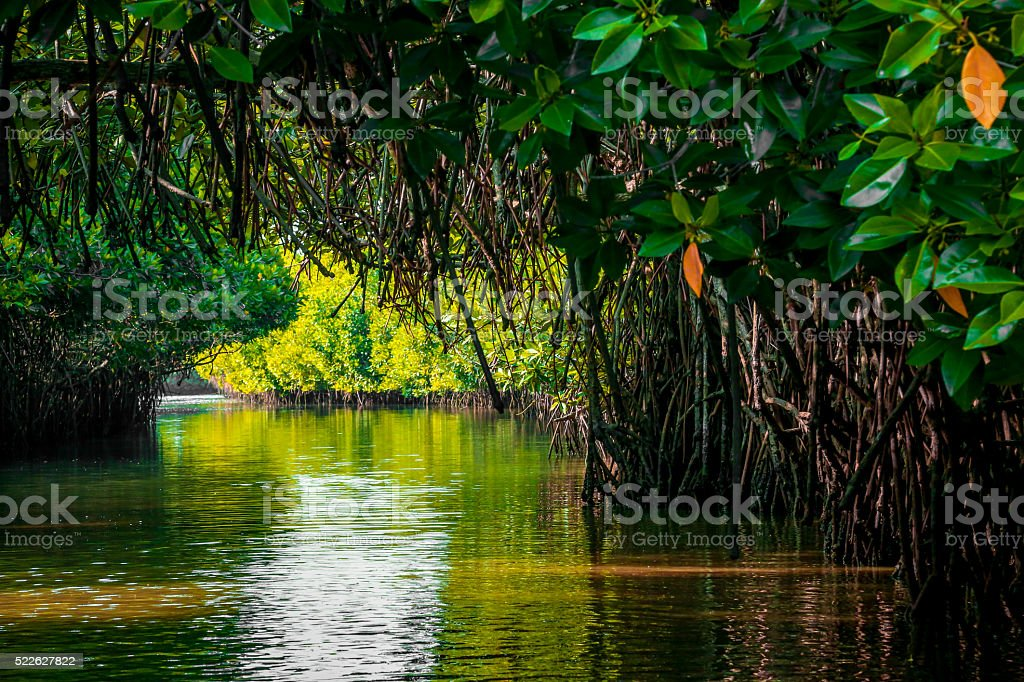 mangrove forest with reflection stock photo