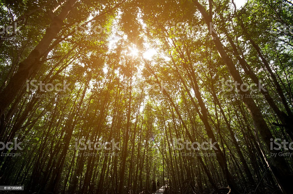 Mangrove forest with sun ray stock photo