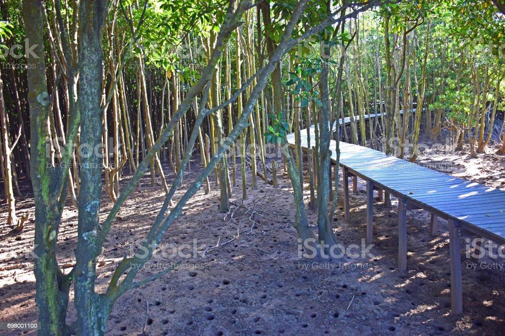 Mangrove, Forest,Swamp, stock photo