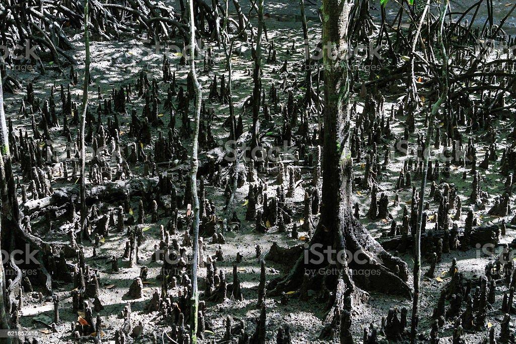 Mangrove in Langkawi stock photo