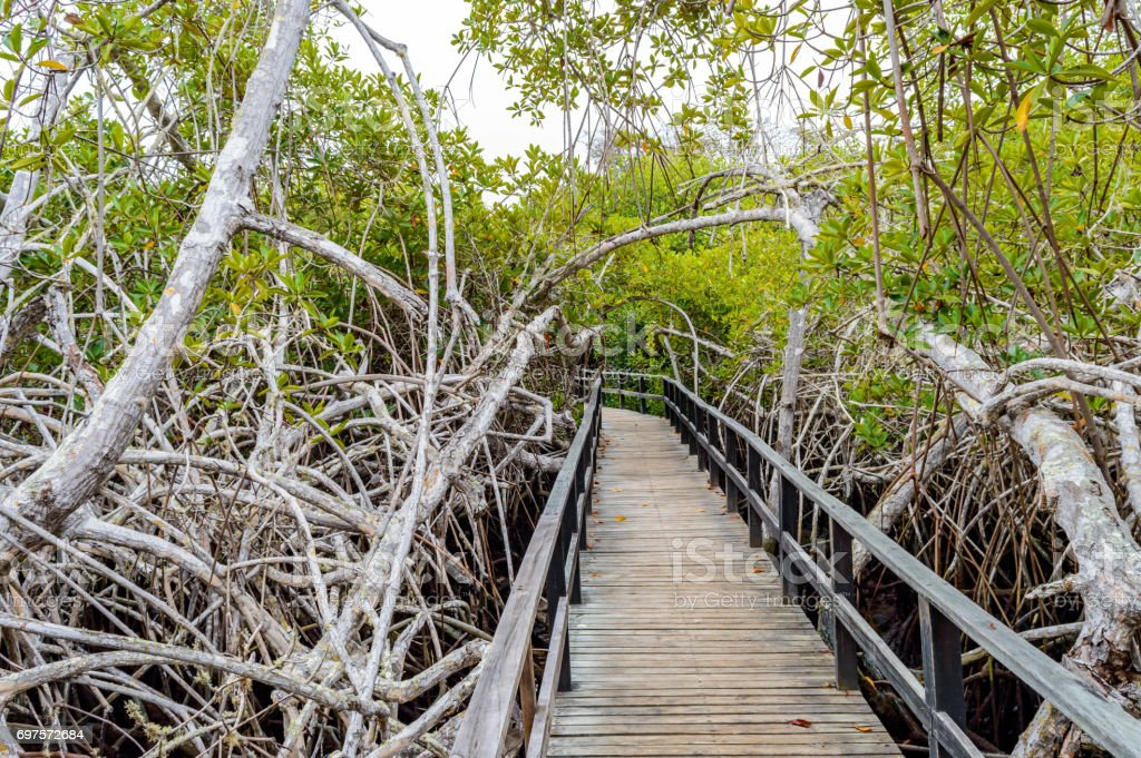 Mangrove in the Galapagos stock photo