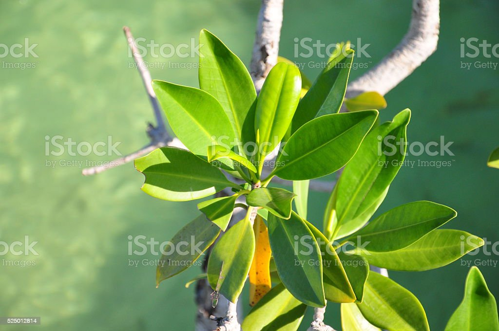 Mangrove leaves stock photo