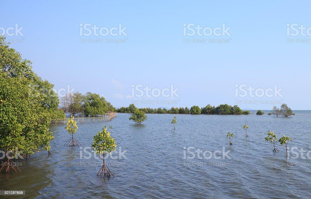 Мангровый лес Стоковые фото Стоковая фотография