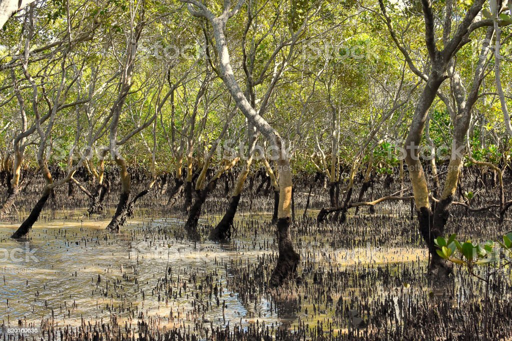 Mangrove stock photo