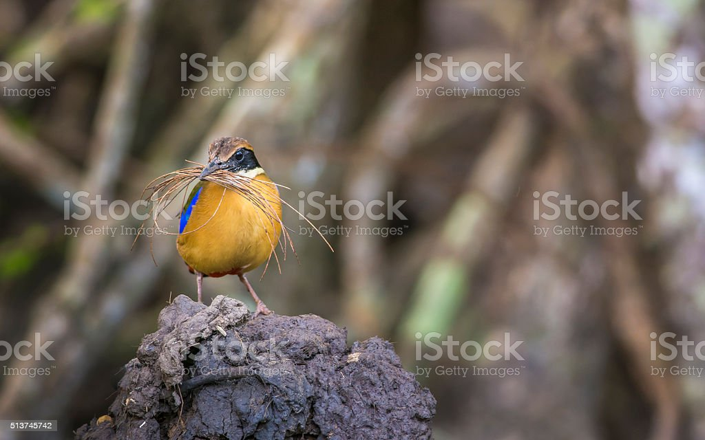 Mangrove Pitta making the nest stock photo