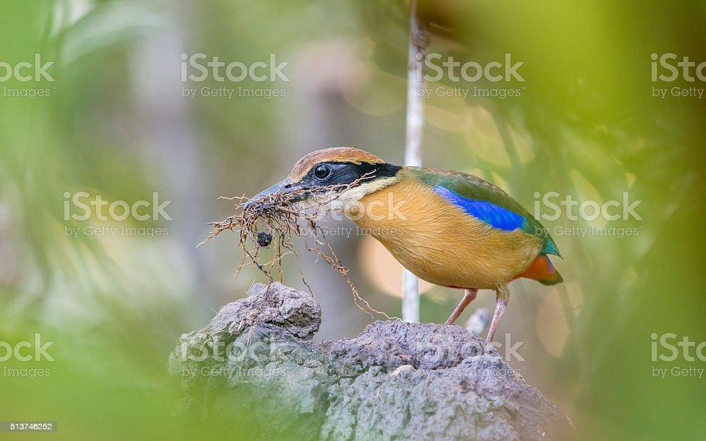 Mangrove Pitta making the nest stock photo