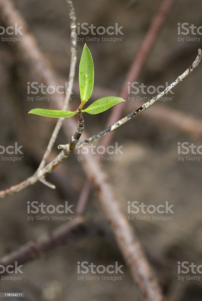 Mangrove plant royalty-free stock photo