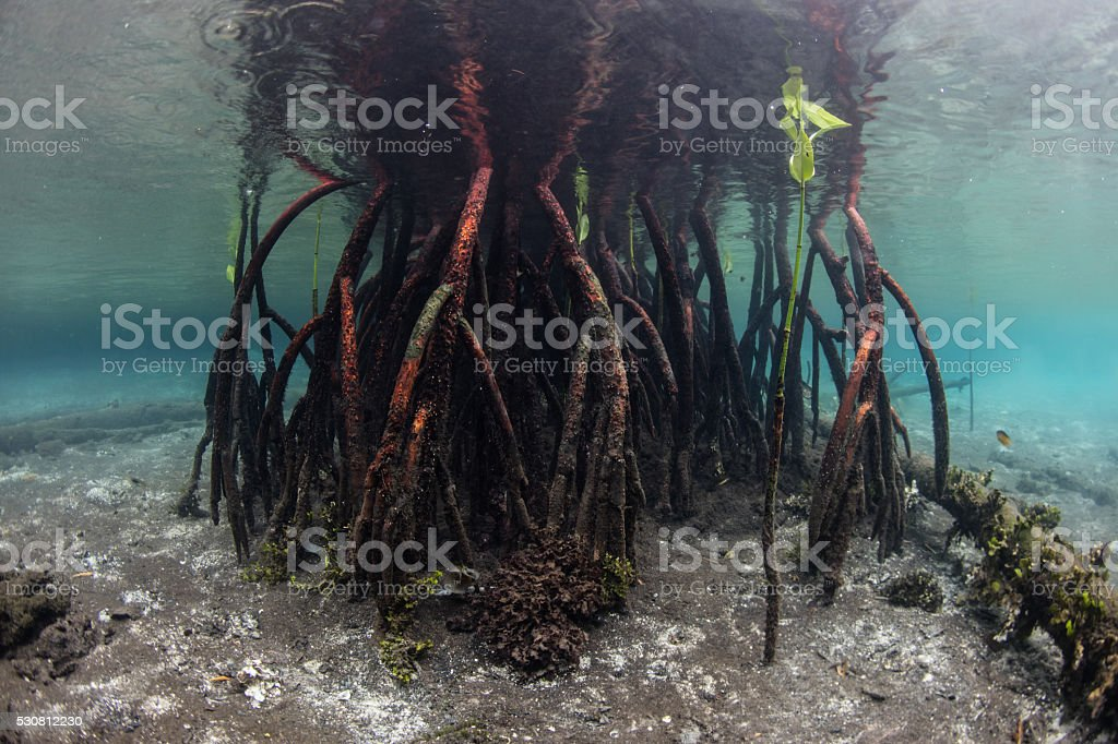 Mangrove Prop Roots stock photo