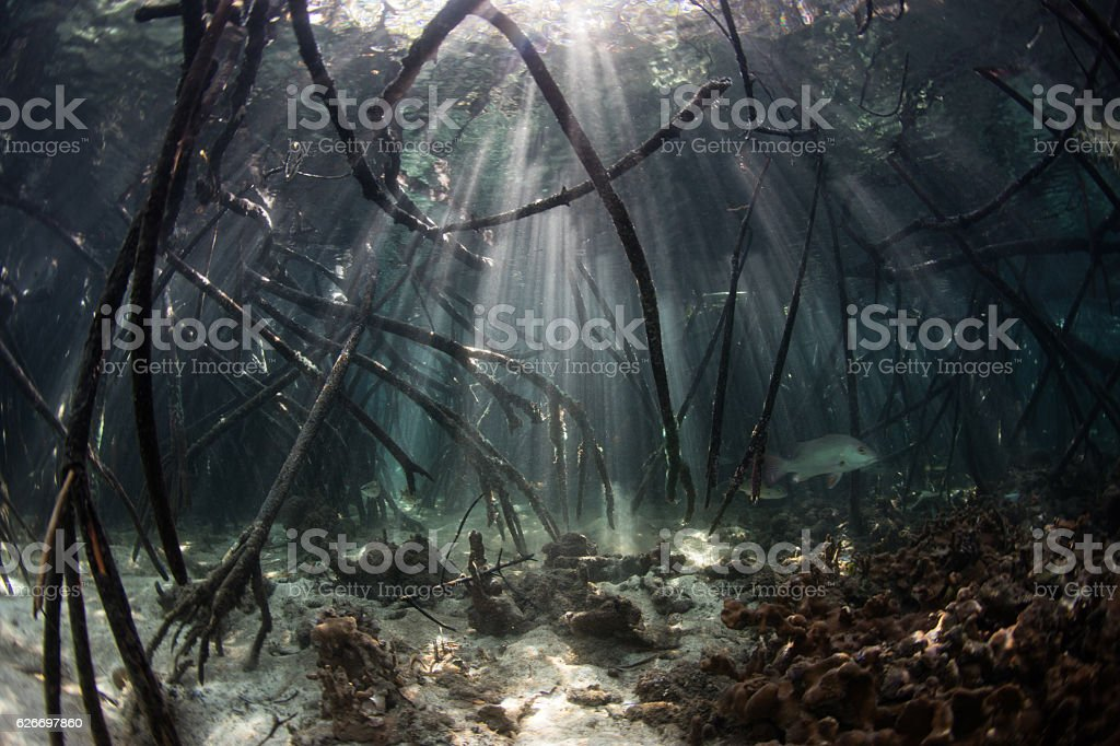Mangrove Roots and Beams of Light stock photo