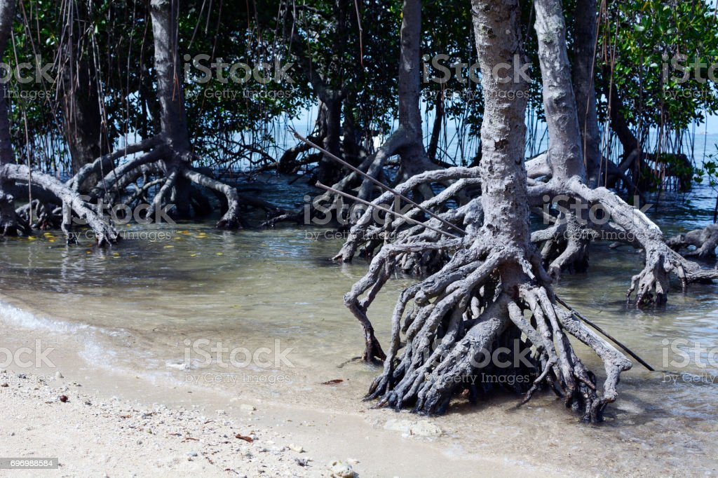 Mangrove roots on white sand beach close up stock photo