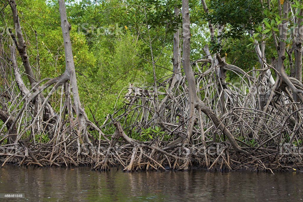 Mangrove Roots stock photo
