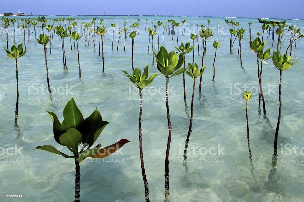 Mangrove Seddling stock photo